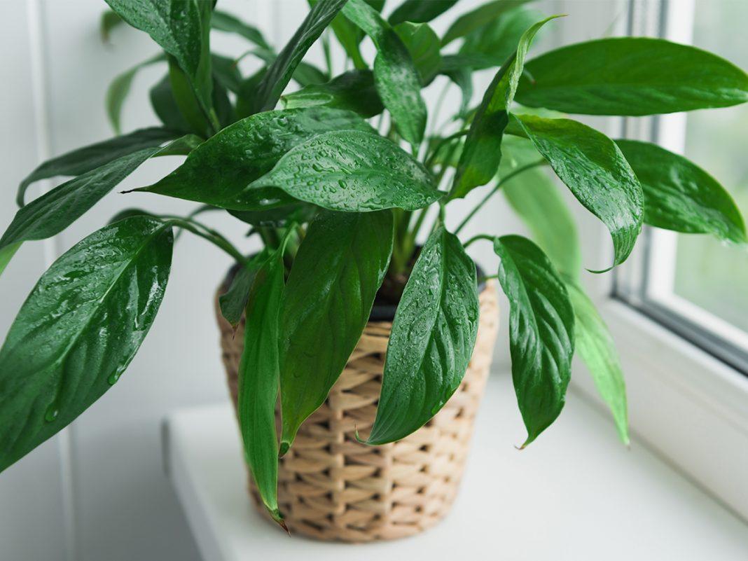 Nezahtevne sobne rastline