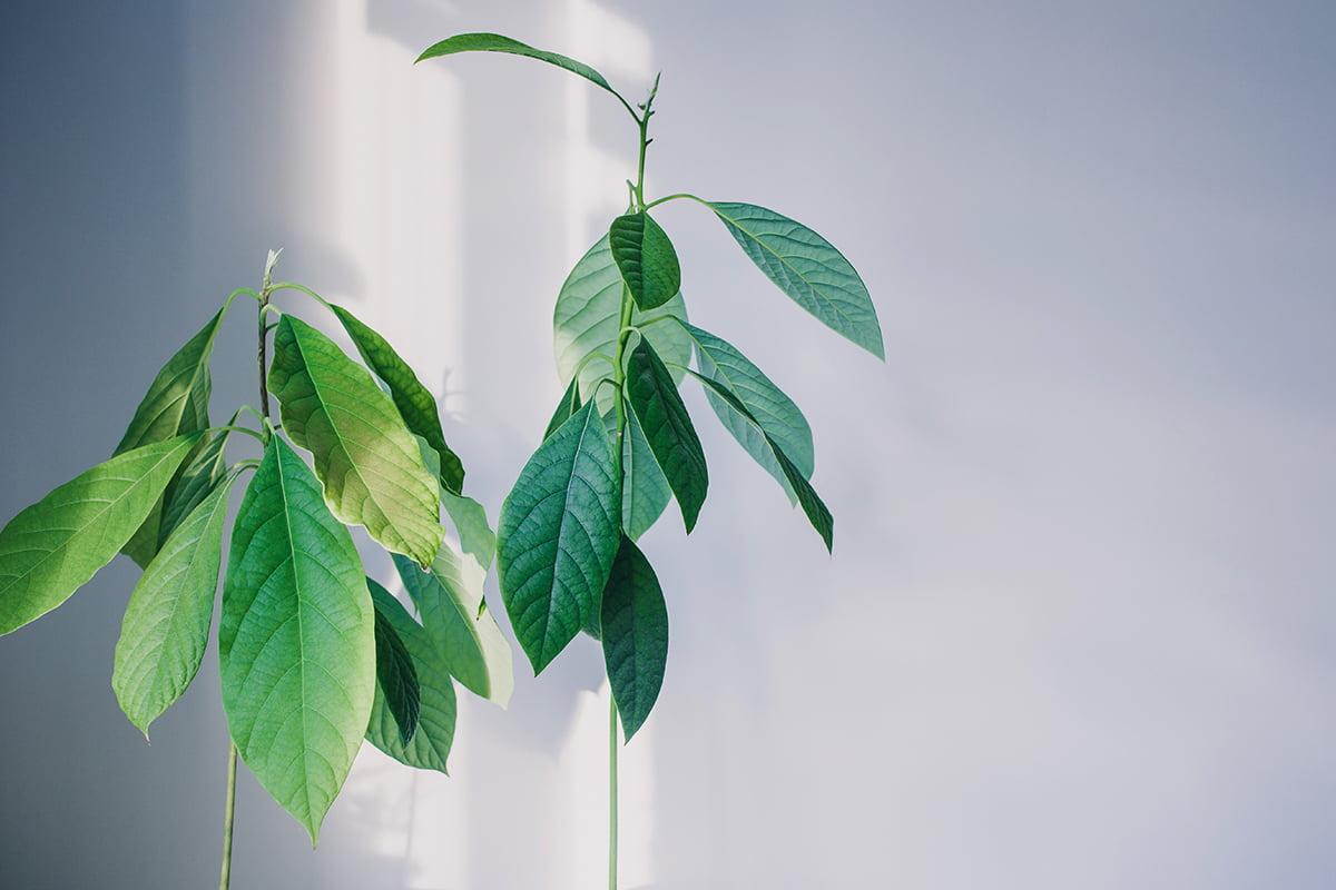 Kako vzgojiti avokado