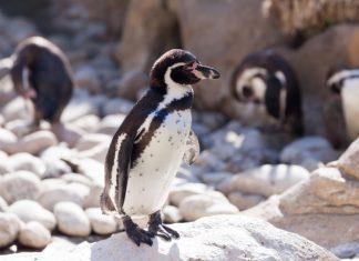 pingvina